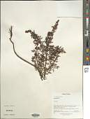 view Pedicularis sp. digital asset number 1
