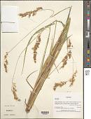 view Anthoxanthum redolens (Vahl) P. Royen digital asset number 1