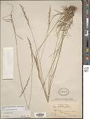 view Poa secunda subsp. juncifolia (Scribn.) Soreng var. juncifolia digital asset number 1