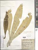 view Libanothamnus occultus subsp. glossophyllus (Mattf.) Cuatrec. digital asset number 1