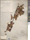 view Malus hupehensis (Pamp.) Rehder digital asset number 1