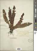 view Polystichum lonchitis (Roth) L. digital asset number 1
