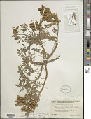 view Lupinus succulentus digital asset number 1