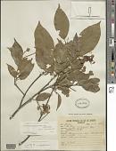 view Swartzia brachyrachis Harms var. brachyrachis digital asset number 1