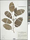 view Premna obtusifolia R. Br. digital asset number 1