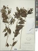 view Clerodendrum ligustrinum (Jacq.) Aiton digital asset number 1