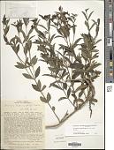 view Declieuxia fruticosa (Willd. ex Roem. & Schult.) Kuntze digital asset number 1