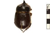 view Unicorn Beetle, Rhinoceros Beetle digital asset number 1