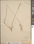view Anthoxanthum monticola (Bigelow) Veldkamp digital asset number 1