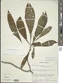 view Aphelandra fasciculata Wassh. digital asset number 1