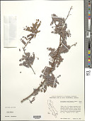 view Calliandra californica Benth. digital asset number 1