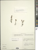 view Gamochaeta purpurea (L.) Cabrera digital asset number 1