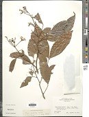 view Inga punctata Willd. digital asset number 1