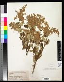 view Holodiscus dumosa (A. Heller) A. Heller digital asset number 1