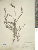 view Echium sericeum Vahl digital asset number 1