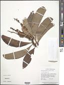 view Byrsonima crassifolia (L.) Kunth digital asset number 1