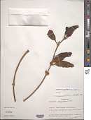 view Phoradendron longipetiolatum Urb. digital asset number 1