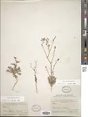 view Gilia stellata A. Heller digital asset number 1