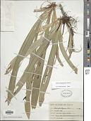 view Carex plantaginea Lam. digital asset number 1