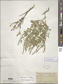 view Verbena plicata Greene digital asset number 1