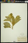 view Croton leptostachyus Kunth digital asset number 1