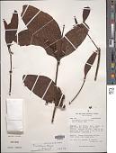 view Phoradendron nervosum Oliv. digital asset number 1