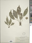 view Antrophyum plantagineum (Cav.) Kaulf. digital asset number 1