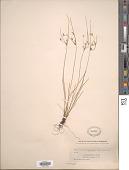 view Juncus tenuis Willd. digital asset number 1