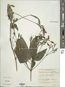 view Ruellia brevifolia (Pohl) C. Ezcurra digital asset number 1