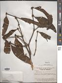 view Phoradendron undulatum (Pohl ex DC.) Eichler digital asset number 1