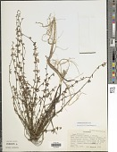 view Syrmatium junceum (Benth.) Greene digital asset number 1