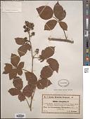 view Rubus oreogeton Focke digital asset number 1