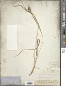 view Carex squarrosa L. digital asset number 1
