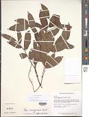 view Piper consanguineum Kunth digital asset number 1