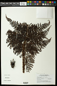 view Polystichum sp. digital asset number 1