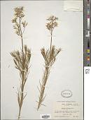 view Amsonia ciliata Walter digital asset number 1