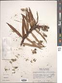 view Freycinetia javanica Blume digital asset number 1