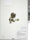 view Hymenophyllum pallidum (Blume) Ebihara digital asset number 1