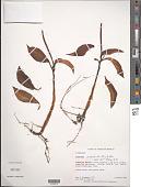 view Peperomia acuminata Ruiz & Pav. digital asset number 1