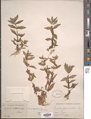 view Gratiola virginiana L. digital asset number 1