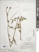 view Bidens pilosa var. minor (Blume) Sherff digital asset number 1