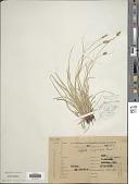 view Carex uruguensis Boeckeler digital asset number 1