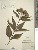 view Eupatorium maculatum L. digital asset number 1