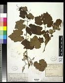 view Vitis vinifera subsp. sylvatica digital asset number 1