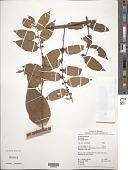 view Byttneria divaricata Benth. digital asset number 1