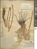 view Eremurus spectabilis M. Bieb. digital asset number 1