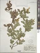 view Ligustrum ovalifolium Hassk. digital asset number 1
