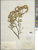 view Sophora arizonica S. Watson digital asset number 1