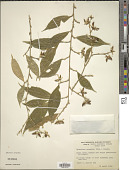 view Hybanthus prunifolius (Humb. & Bonpl. ex Schult.) Schulze-Menz digital asset number 1