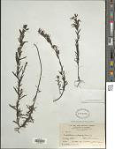 view Castilleja fissifolia var. integrifolia (L. f.) Wedd. digital asset number 1